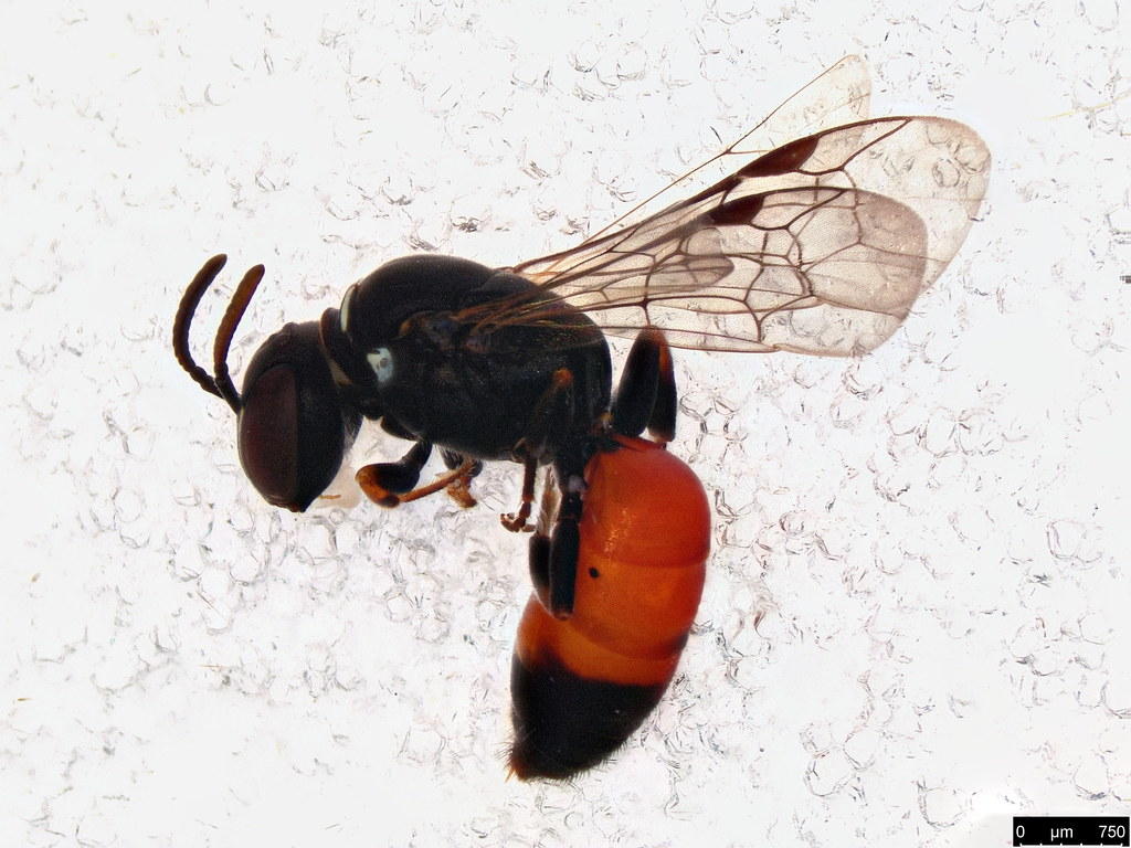 10 - Hylaeus littleri (Cockerell, 1918)