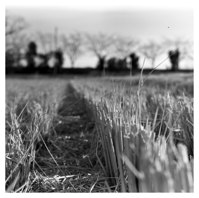 Paddy field in January