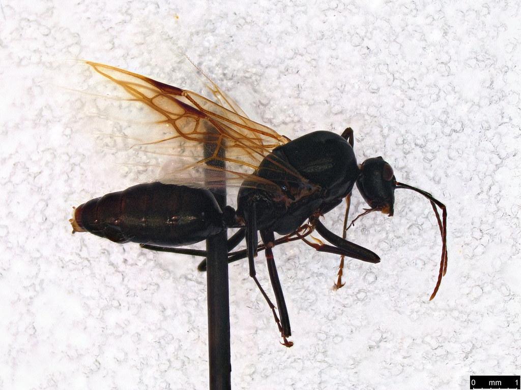 23 - Formicidae sp.