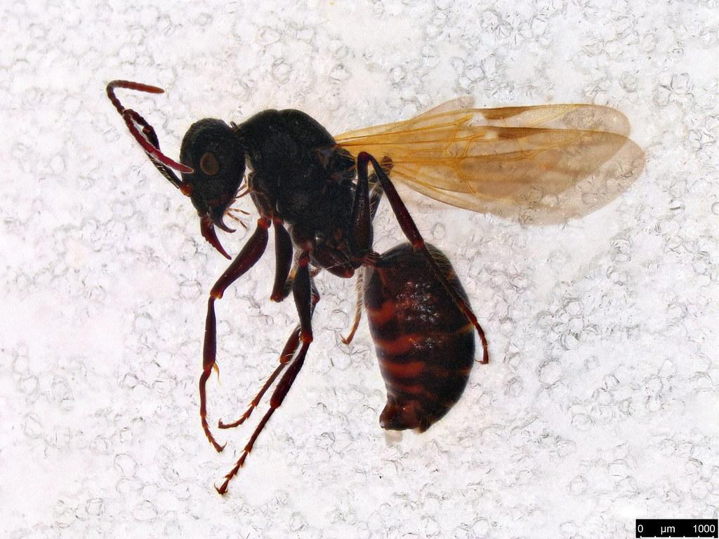 18a - Mutillidae sp.