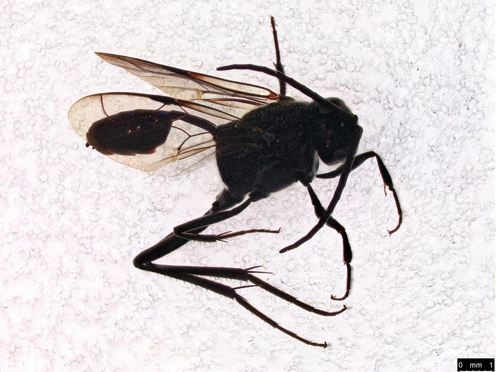 20b - Evaniidae sp.