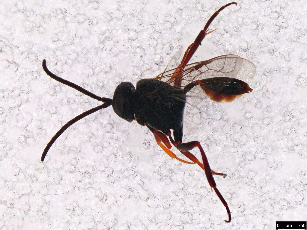 21 - Evaniidae sp.