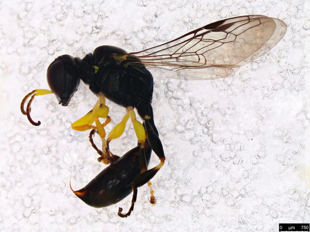 22a - Sphecoidea sp.