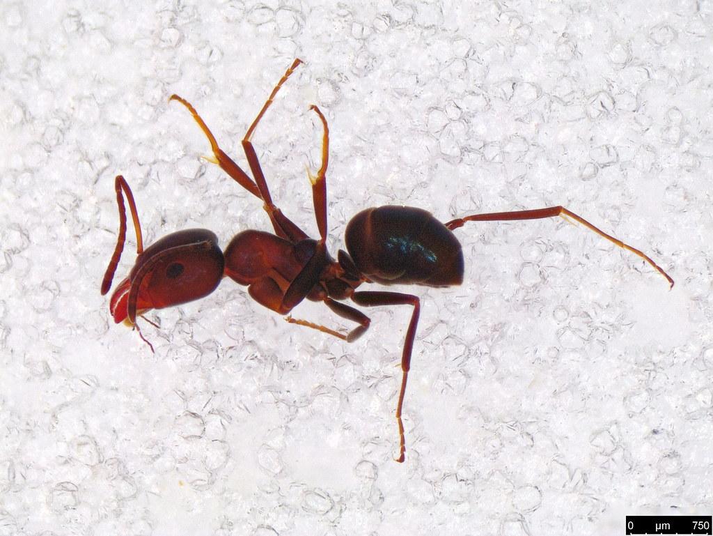 26a - Formicidae sp.