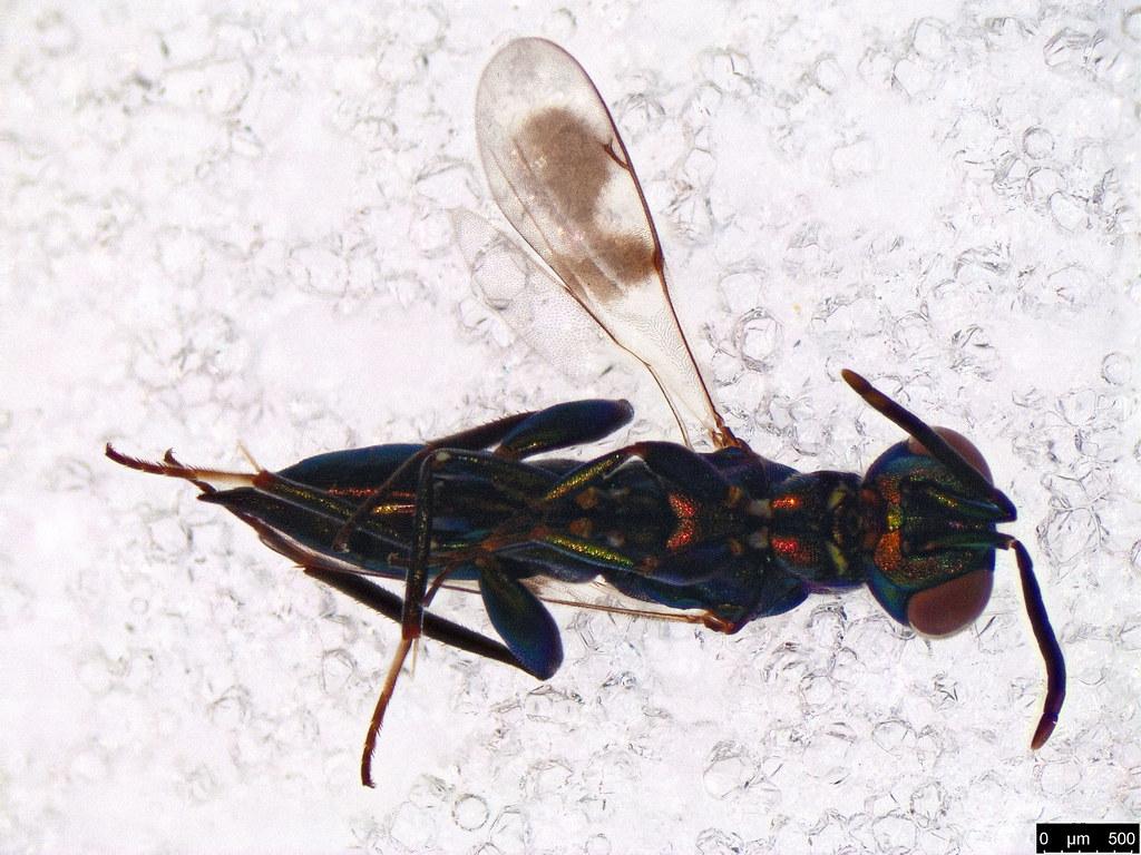 27a - Chalcidoidea sp.