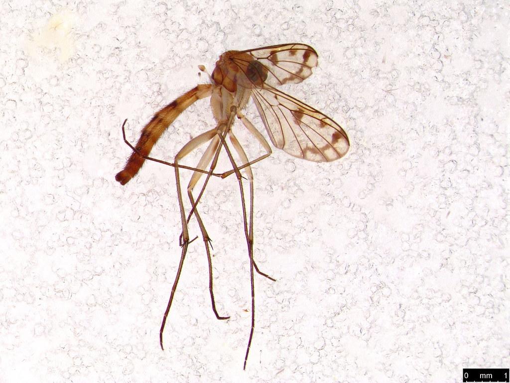 33 - Pyrtaula sp.