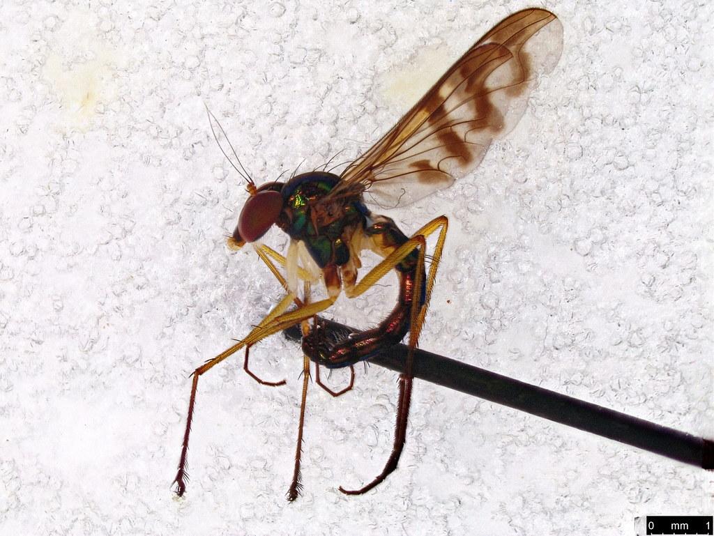 35a - Dolichopodidae sp.