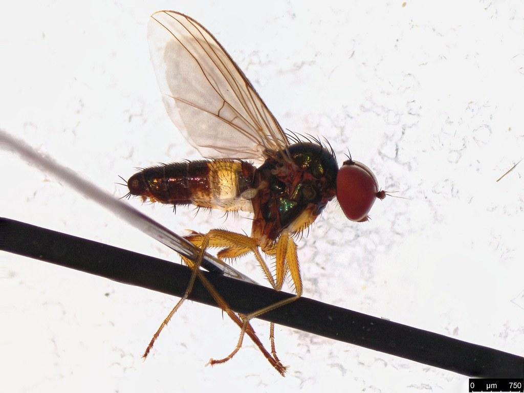 36a - Diptera sp.