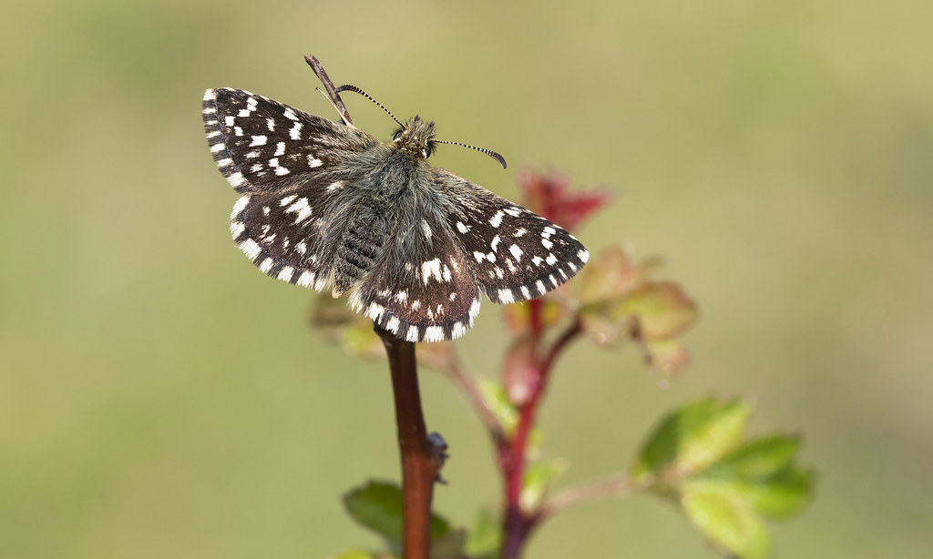 Grizzled Skipper (Pyrgus malvae).