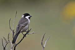 Grey Tit- Lesotho