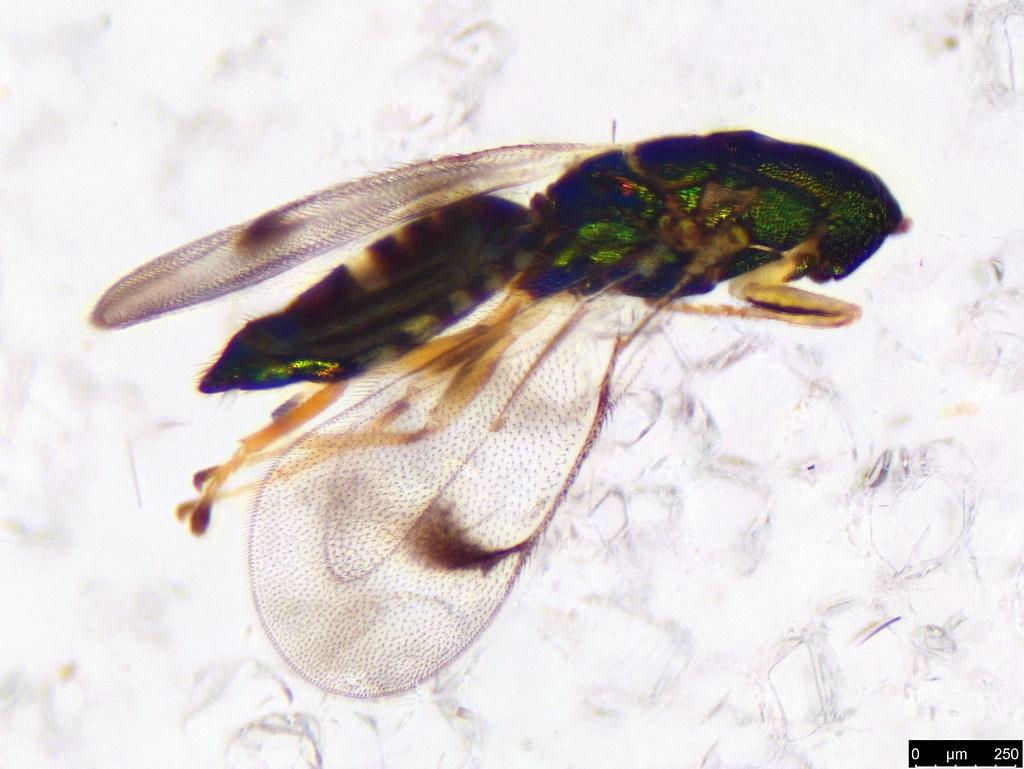 28b - Chalcidoidea sp.