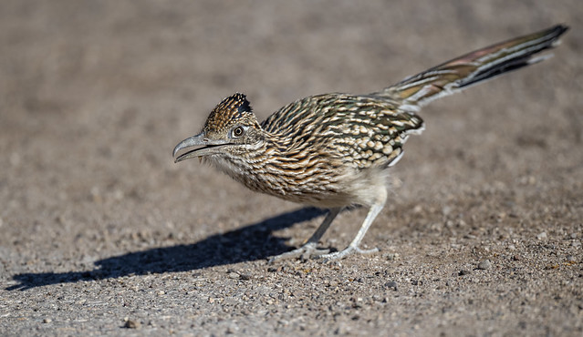 Greater Roadrunner (Geococcyx californianus)