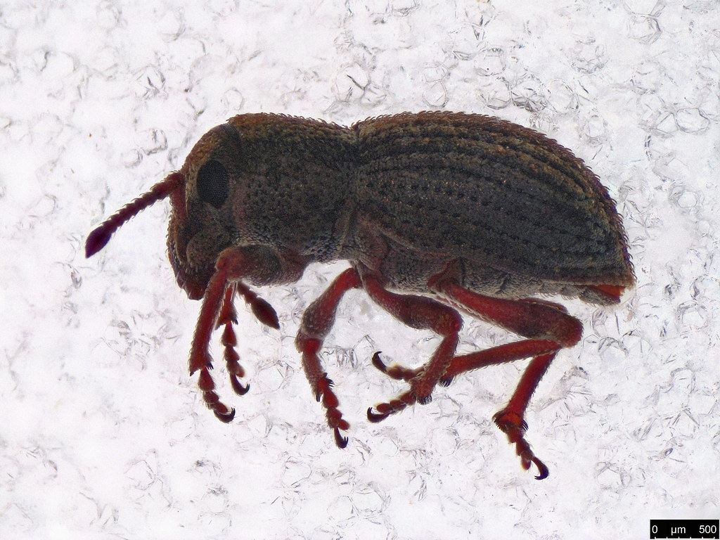42a - Entiminae sp.