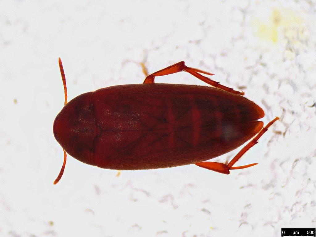 47a - Coleoptera sp.