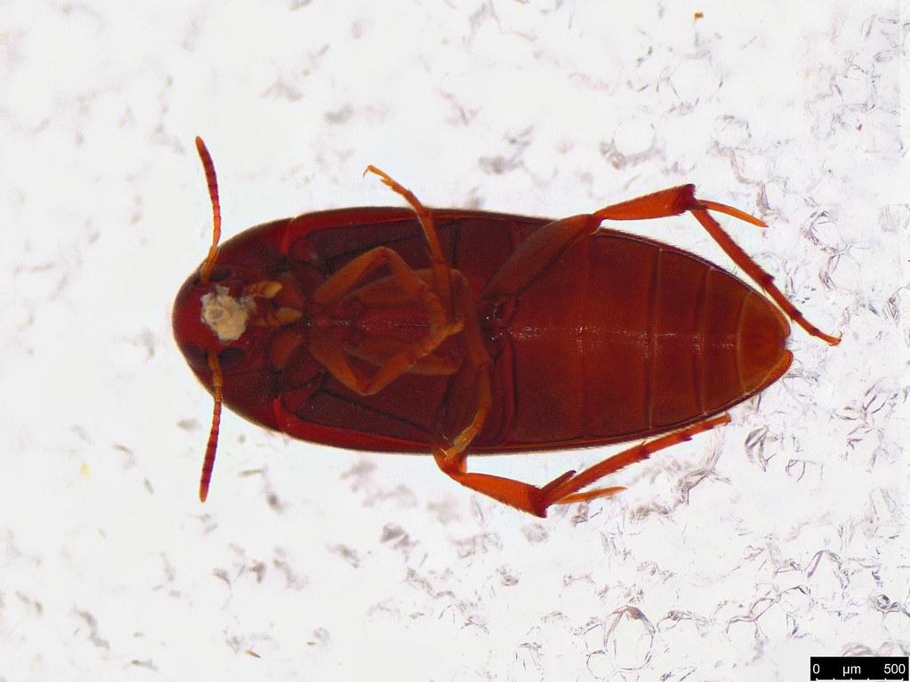 47b - Coleoptera sp.