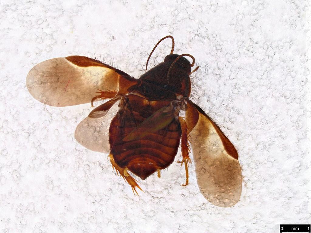50a - Corydiidae sp.