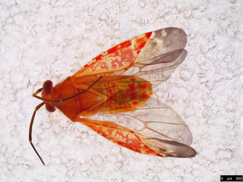 55 - Miridae sp.