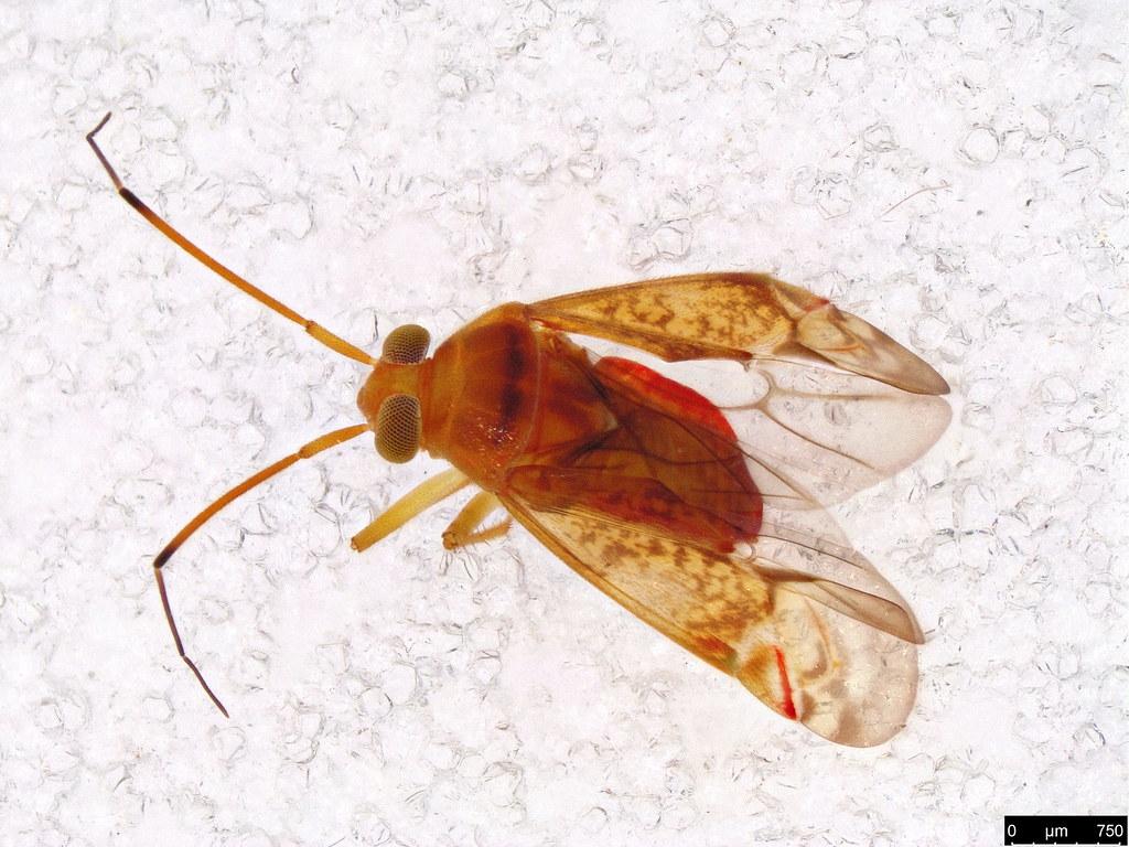 56a - Miridae sp.