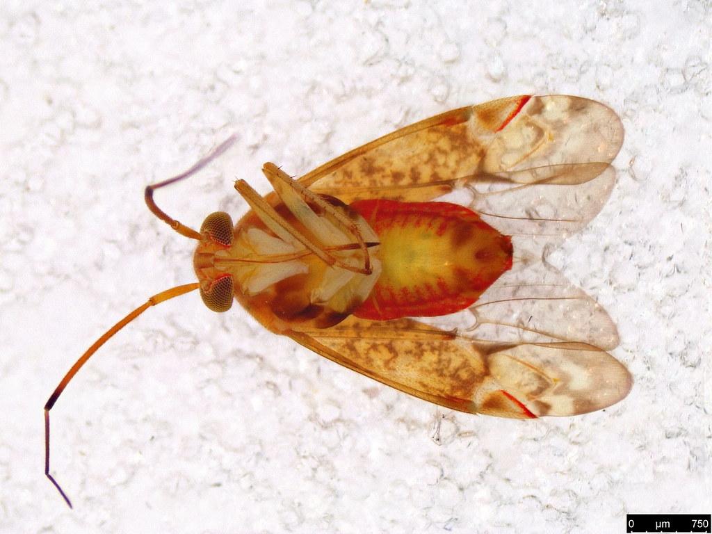 56b - Miridae sp.