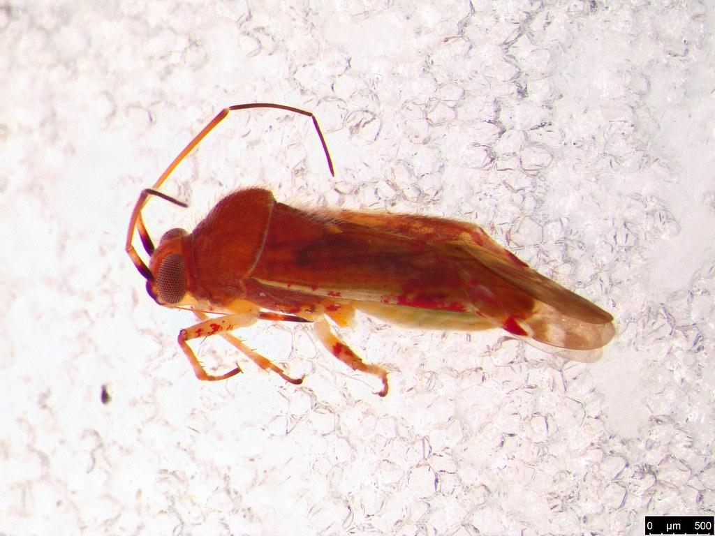 57 - Miridae sp.
