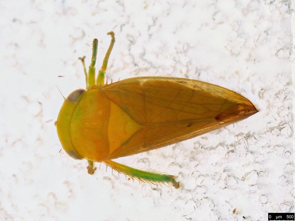 59 - Cidadellidae sp.