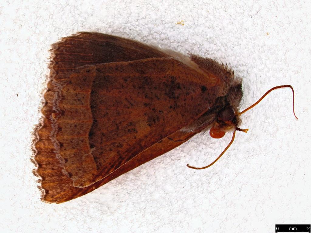 62 - Pantydia sparsa Guenée, 1852
