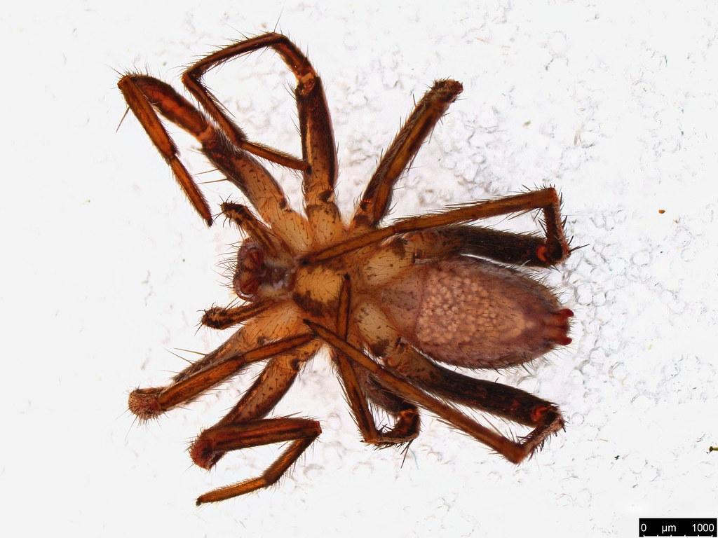 67b - Argoctenus sp.