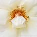 White Rose, 5.8.17