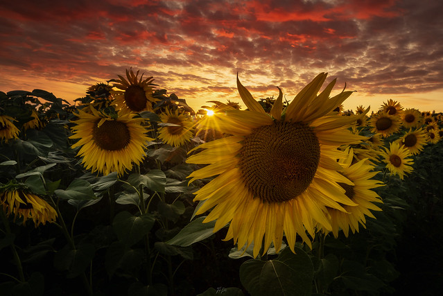 Red Sunset over Sunflowers..