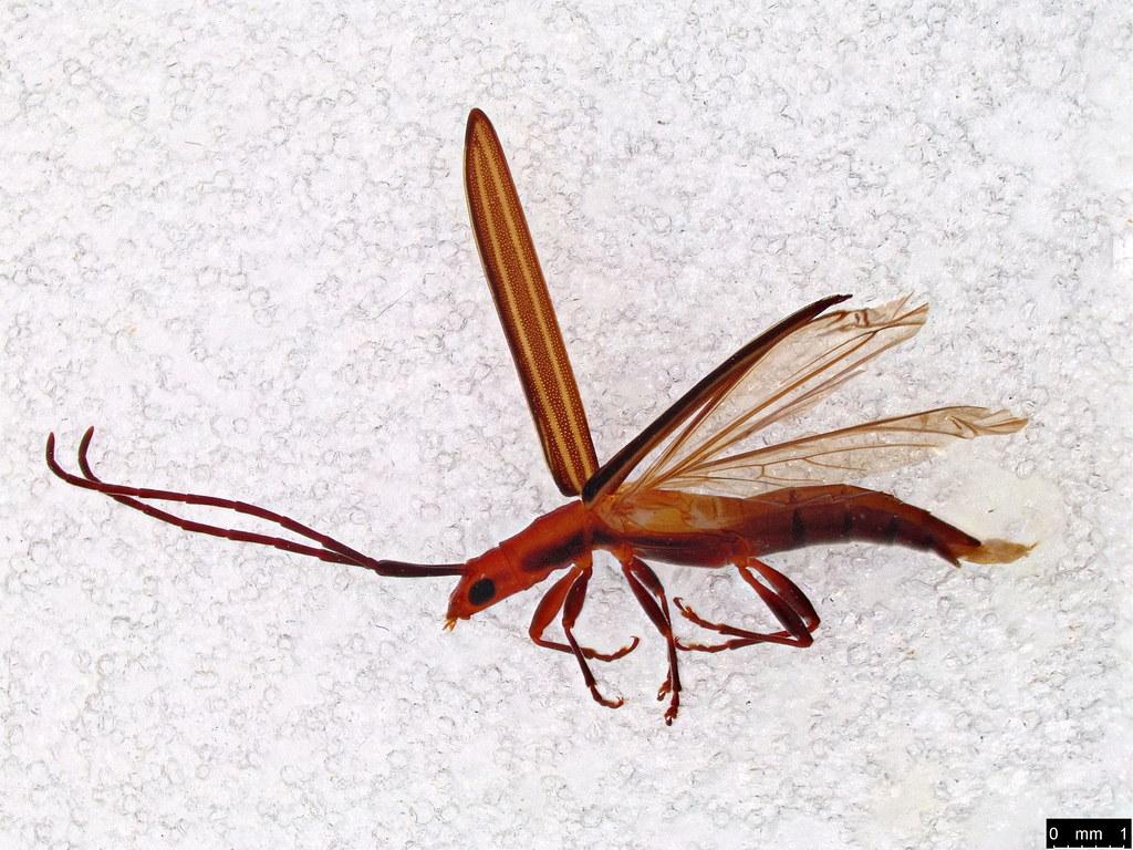 41 - Syllitus rectus (Newman, 1841)