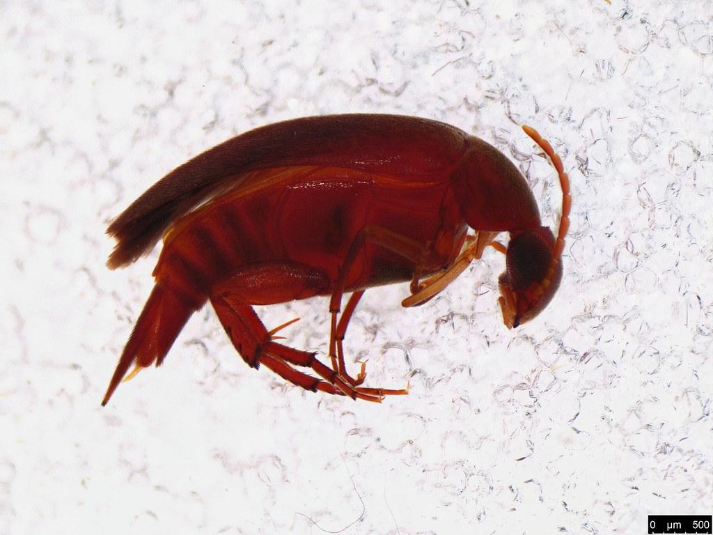 45 - Mordellidae sp.
