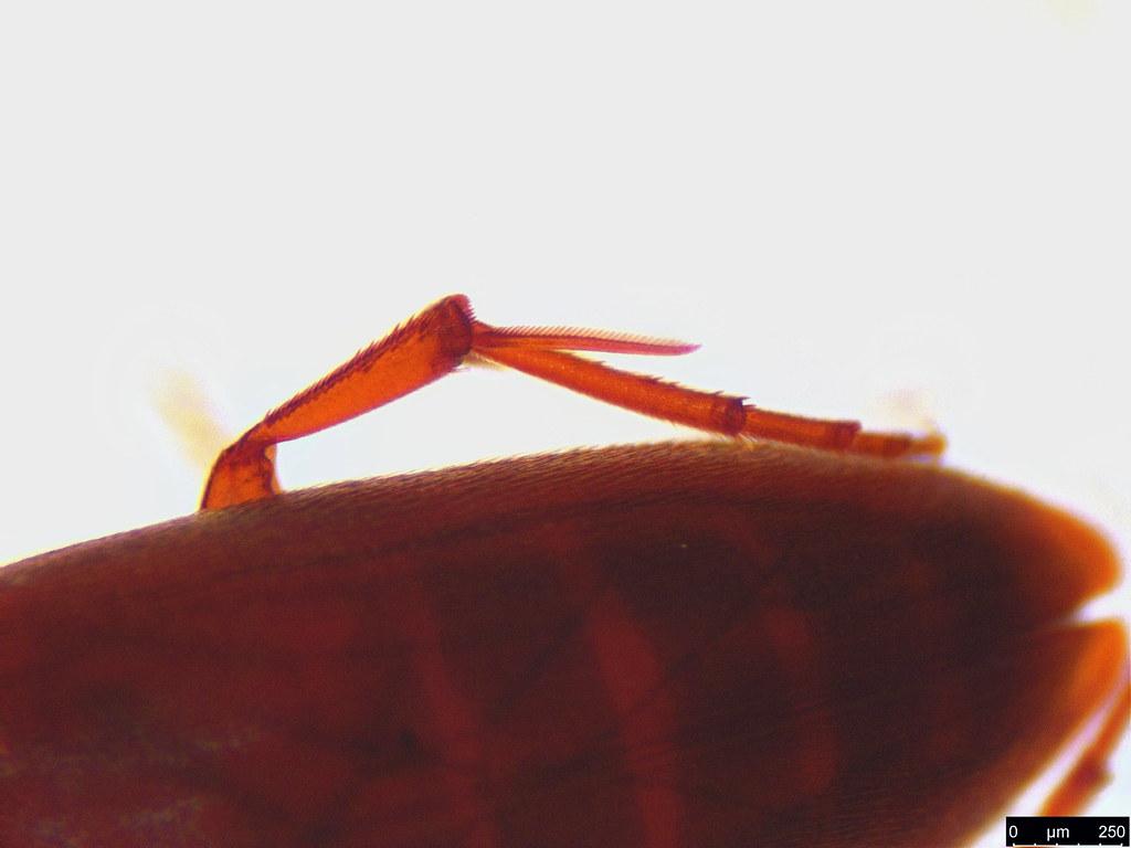 47c - Coleoptera sp.