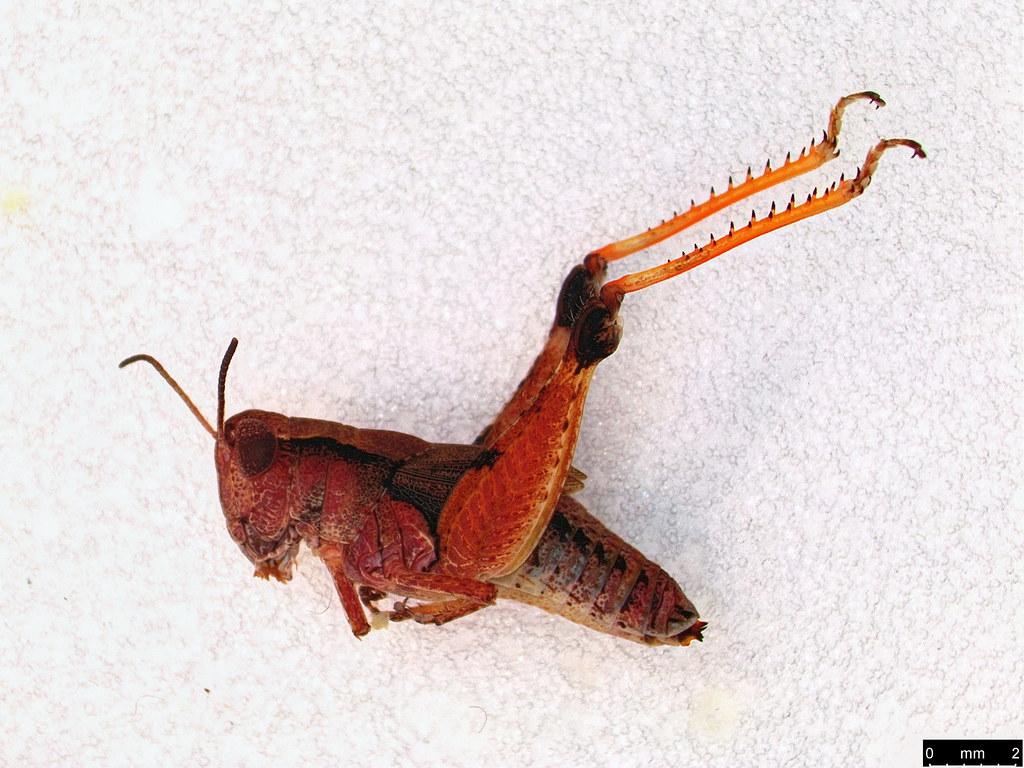48a - Phaulacridium vittatum (Sjöstedt, 1920)Phaulacridium vittatum (Sjöstedt, 1920)