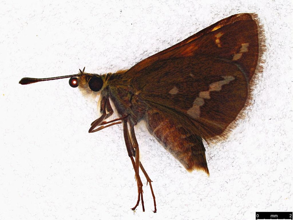 60 - Taractrocera papyria (Boisduval, 1832)