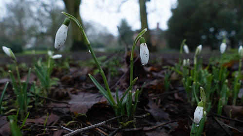 First snowdrops, Bantock Park, mud splattered