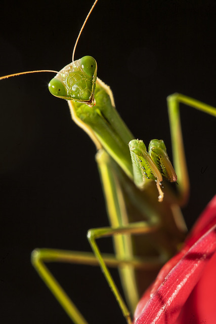 Mantis #24