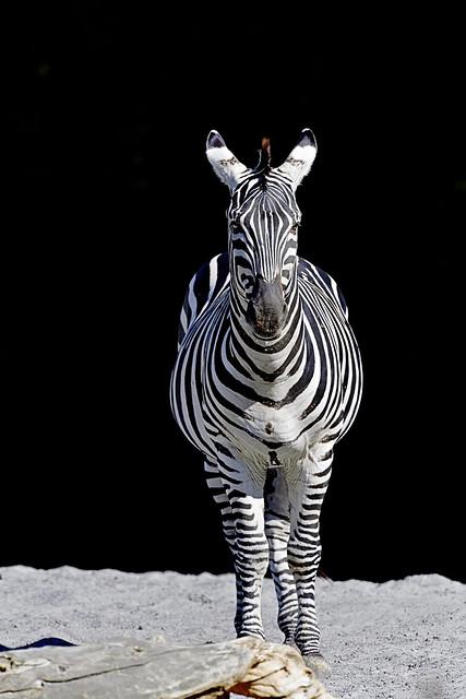 Grant Zebra - blickt hoffnungsvoll in die neue Woche!