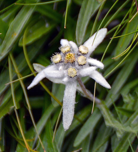 Edelweiss (stella alpina)