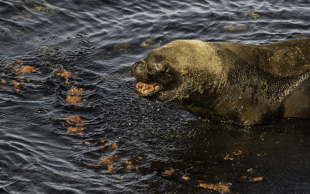 Southern Sea Lion just after Being Sick on Bleaker island - Falklands 97