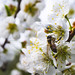 The bee sucks in apricot nectar