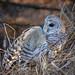 Fletcher Barred Owl with vole-167-Edit.jpg