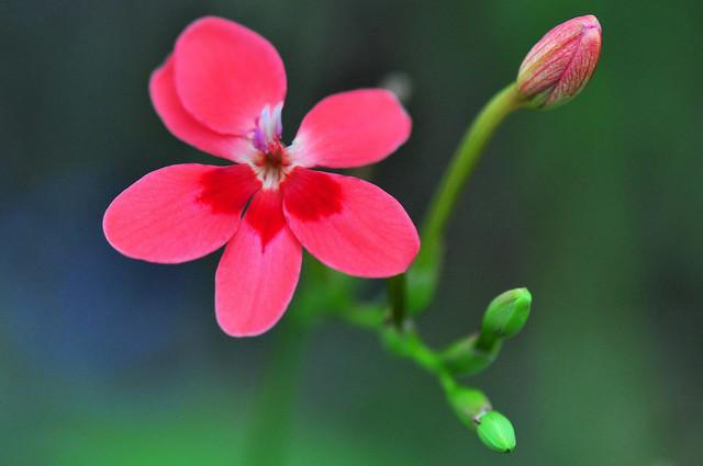 Flowering Grass (Freesia Laxa)
