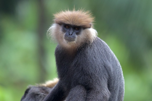Sri Lankan Endemic Monkey - Kalu Wandura