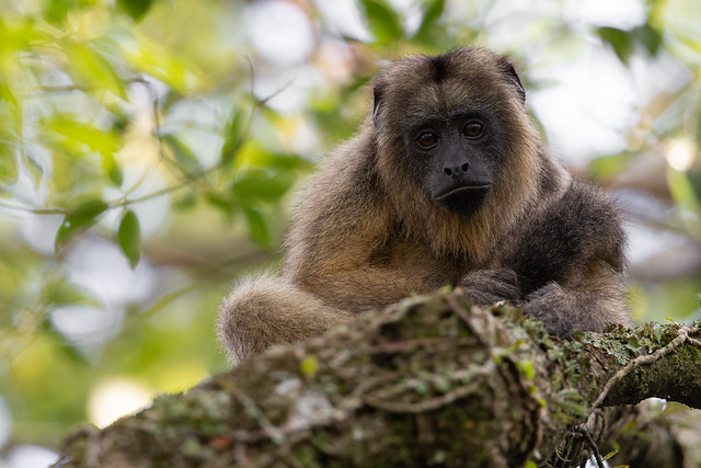 Black and Gold Howler Monkey - Alouatta caraya