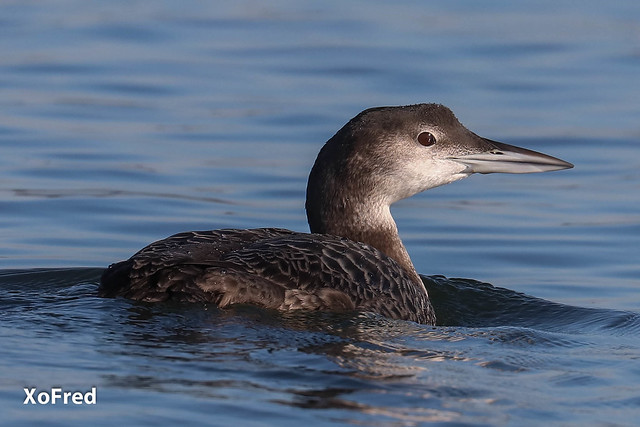 Mobelha-grande * Common Loon (Great northern Diver) * Gavia immer