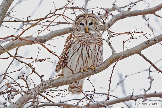 248A2782 barred owl
