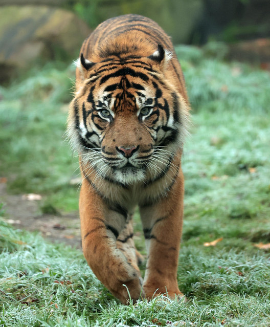 sumatran tiger Burgerszoo 9K2A9293