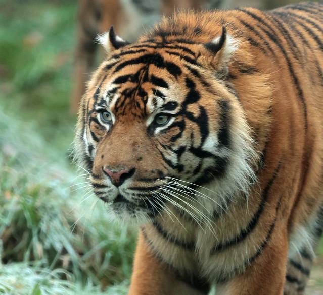 sumatran tiger Burgerszoo 9K2A9297