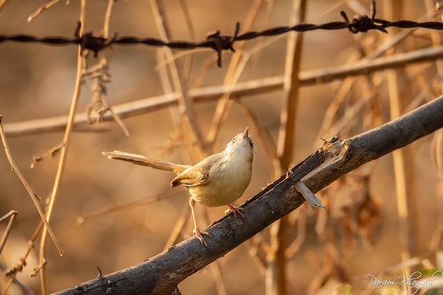 Plain Wren-Warbler - I (PB2_3616)