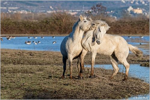 Camargue  /Equus ferus caballus